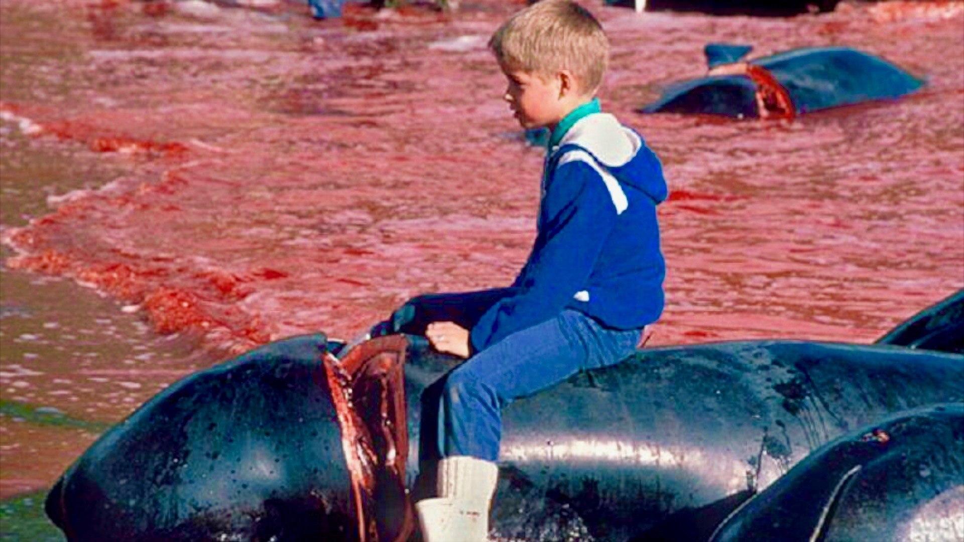 Isole Faroe: la vergognosa mattanza delle balene, 175 uccise in due giorni